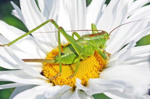 Lady Grasshopper